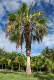 Palm Tree. On the blu sky background. Varadero, Cuba Royalty Free Stock Image