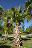 Palm Tree. Young palm tree on the blue sky background. Varadero, Cuba Royalty Free Stock Photos