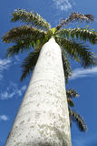 Palm Tree. The view of the palm tree frm below on the blue sky background. Varadero Cuba Stock Photo
