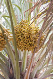 Palm tree. Ripening dates on palm tree Royalty Free Stock Image