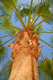 Palm tree. In tropic view from below Royalty Free Stock Images