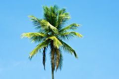 Palm tree. Tropical palm tree isolated on blue Stock Photos