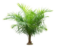 Palm tree. Isolated on white background royalty free stock images