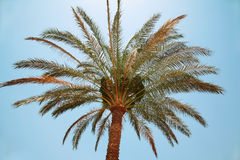 Palm tree. Against a clear sky Stock Images