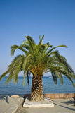 Palm tree near the beach in Greece. Palm tree near beach in Paralia, Greece royalty free stock photo