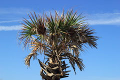 Palm Tree. Beautiful palm tree located in Pensacola Beach, Florida Stock Images