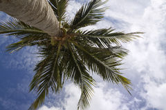 A Palm Tree. Blowing in the wind with a blue cloudy sky Stock Photo