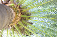 Palm Tree. A palm tree viewed from underneath Royalty Free Stock Images