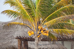 Palm tree. With coconuts at the beach, near a beach house in Mexico Stock Photography
