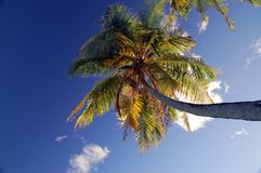 Palm tree. Coconut palm tree in front of blue sky with clouds Stock Image