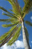 Palm tree. Against blue sky Stock Photos