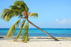 Palm Tree. At the wild beach with Atlantic Ocean in the background, Guardalavaca, Cuba Royalty Free Stock Photo