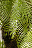 Palm Tree. Close up of a palm tree Stock Photography