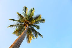 Palm tree. In blue sky Royalty Free Stock Images