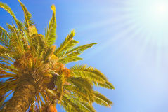 Palm tree. Picture of a Palm tree at sunny day Stock Photo