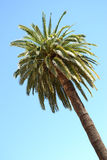 Palm tree. Photography of a palm tree on the french riviera Royalty Free Stock Photo