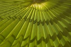 Palm tree. Background of a sheet of palm tree Royalty Free Stock Image