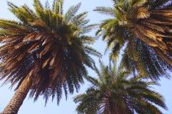 Free Palm Tree Royalty Free Stock Photography - 38165007