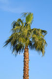 Palm Tree. Single palm tree on a sunny day with blue sky Royalty Free Stock Photos