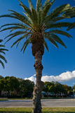 Palm Tree. In mid afternoon against blue sky Stock Photo