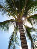 Palm tree. The sun shines through a palm tree leaves Royalty Free Stock Photo