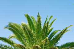 Palm tree. Trunk and leaves of palm tree on a background of a blue sky Royalty Free Stock Photography