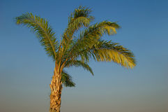 Palm tree. In Thailand royalty free stock photo