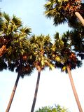 Palm tree 52 Royalty Free Stock Photography