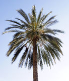 Palm Tree. And blue sky stock photography