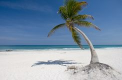 Palm tree. On a tropical beach. White sand Stock Photography