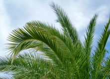 Palm tree. Leafs on the blue sky background Royalty Free Stock Photo