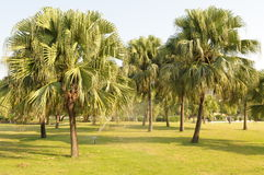 The palm tree Stock Image
