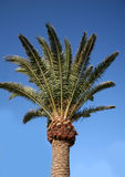 Palm tree. Against blue sky Royalty Free Stock Image