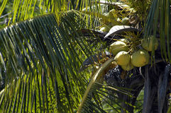 Palm tree. With coconuts Stock Photo