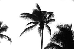 Palm tree. Silhouettes isolated on white stock photos