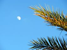 Palm tree. Fronds moon light blue sky Royalty Free Stock Images