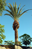 Palm Tree. Tropical Palm tree Royalty Free Stock Image