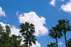 Palm tree. S over a blue sky stock image