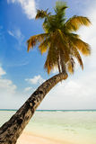 Palm tree. A single palm tree at the caribbean beach Royalty Free Stock Photography