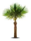 Palm tree Royalty Free Stock Image