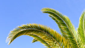 Palm tree ackground. Palm tree branches with blue sky background Stock Image