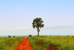 A palm tree and a African road Stock Photography