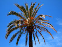 Palm tree against a blue sky Royalty Free Stock Image