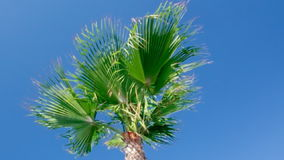 Palm tree against a blue sky. Royalty Free Stock Image
