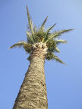 Palm Tree Against Blue Sky. Green Palm Tree Against Blue Sky Royalty Free Stock Photos