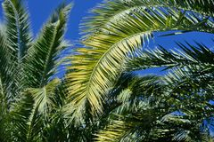 Palm tree against the blue sky Stock Photo