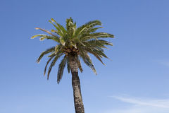 Palm tree against blue sky Royalty Free Stock Photos