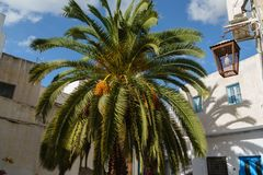 Date palm tree in Tunisia stock images