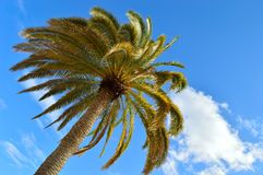 Palm tree. Palm tree against a blue sky Stock Image
