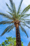 A palm tree against a blue sky in Seville, Spain, Europe Royalty Free Stock Photos